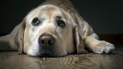 Sad Labrador Dog Wallpapers Animals Backgrounds Laptop