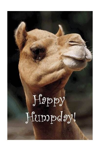 Hump Happy Wednesday Funny Clip Camel Humpday