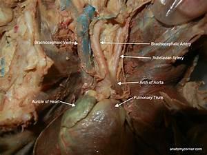 Pulmonary Trunk Related Keywords & Suggestions - Pulmonary ...
