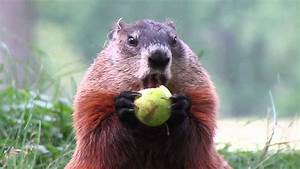 Marmotte Qui Mange Une Pomme  Groundhog Eating An Apple