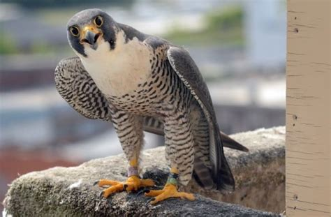300 best images about peregrine falcon on pinterest