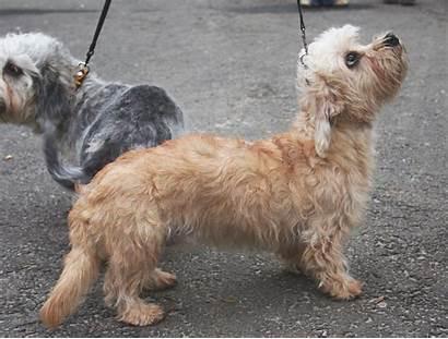 Terrier Dinmont Dandie Dog Breeds