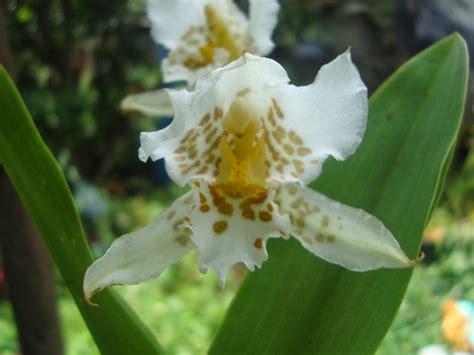 Orquídeas HElid: Rhynchostele Aptera