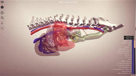 canine abdominal vasculature  veterinary anatomy