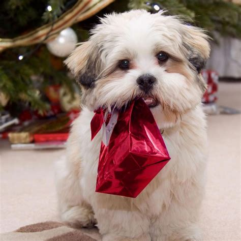 Choose from a curated selection of christmas wallpapers for your mobile and desktop screens. iPad Wallpapers: Free Download Christmas Pets iPad Wallpapers - Christmas Dogs