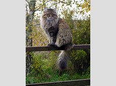 Die sibirische Katze 30 supersüße Bilder Archzinenet