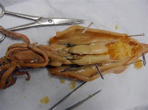 squid dissection  biology corner