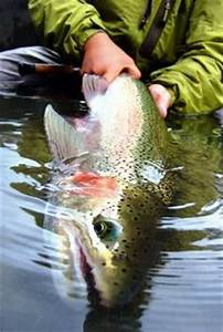 1000+ images about trout on Pinterest   Rainbow trout ...