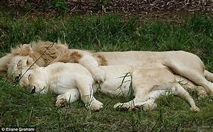 Big cat nap: A lion and his lioness are spotted spooning ...