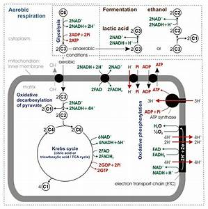 Mitochondrion  Definition  Structure And Function