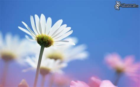 margherite fiori margherite