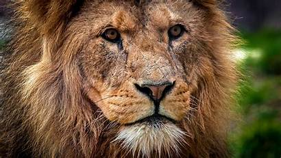 Lion King Narnia 4k Aslan Wallpapers Muzzle