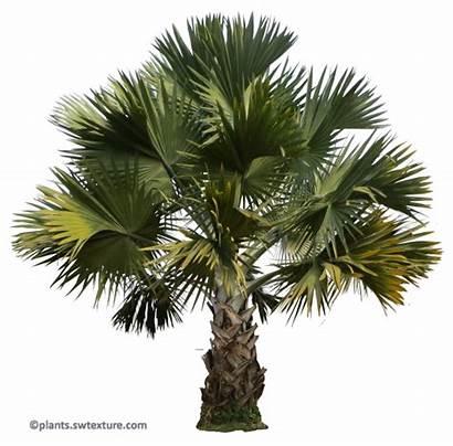 Bismarckia Nobilis Palm Tropical Leaves Plants Plant