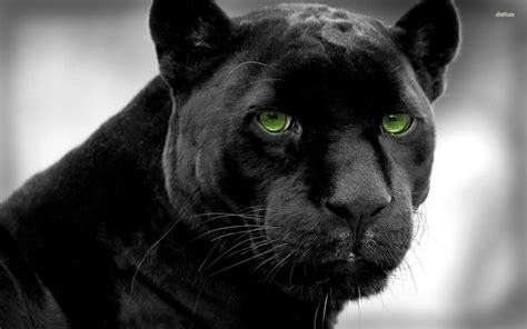 Panther Animal Wallpaper - black panther wallpapers hd wallpaper search