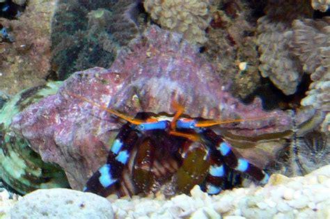 bernard l hermite aquarium calcinus bernard l hermite poissons marins vente magasin uniquement invert 233 br 233 s