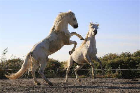 horse horses stallion mustang mare riding foal vertebrate colt mane combat herd horseback mammal fauna standard domain