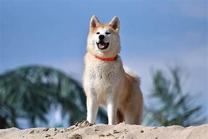 Akita Wikipedia Dog Inu Wiki