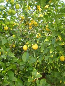 Main Squeeze  Growing Citrus Trees