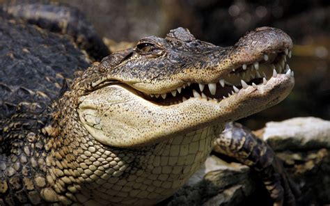 Crocodile Animal