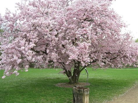 flowering cherry tree problems related keywords suggestions for prunus accolade