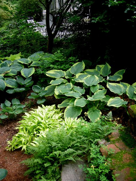 hosta shade garden hosta earth angel carolyn s shade gardens