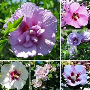 Hibiskus Stämmchen Kaufen : bl hende hecke 25 samen roseneibisch hibiscus syriacus hibiskus seeds ebay ~ Buech-reservation.com Haus und Dekorationen