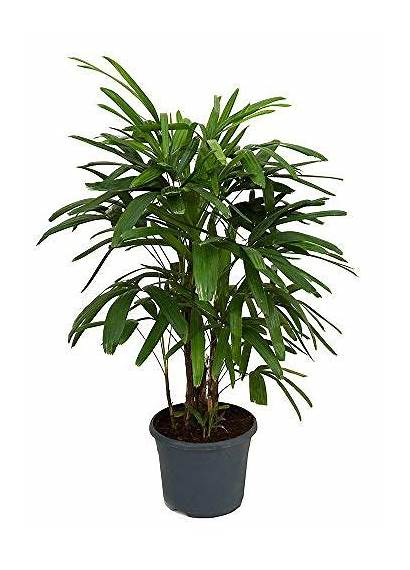 Indoor Trees Palm Plants Every Lady Houseplants
