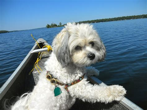 Dogs That Dont Shed by Teddy Bear Dog Breed Information Which Dog Is Right For You