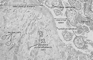 Hls   Female Reproductive System  Placenta  Decidual Cells
