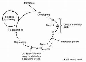 The Maturation Cycle Of The Female Haddock  Melanogrammus