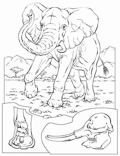 Coloring Pages Elephant Sheets Animal Animals Wildlife