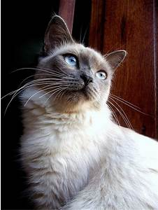 blue point siamese | kitties!:) | Pinterest