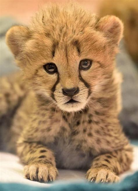 animals baby cats zoo cheetah cheetahs cubs cute cub wild animal funny cool pets diego handle debbie beals san cuteness