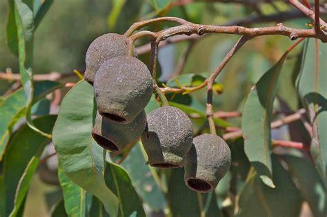 marri red gum corymbia calophylla honkey nuts