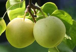 Wann Sind Brombeeren Reif : wann ist die nashi birne reif erntezeit und tipps ~ Orissabook.com Haus und Dekorationen