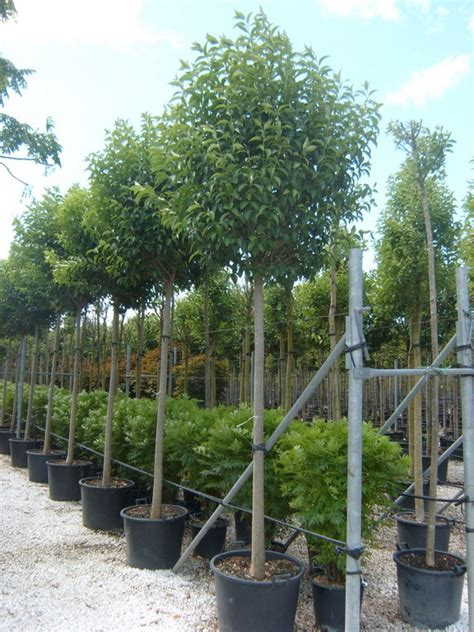 tilia cordata full standard tree  leaf topiary