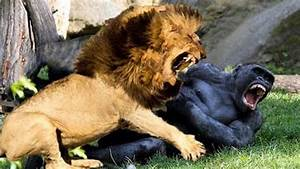 Lion VS Gorilla - Real Fight Hoax Or Not? - YouTube