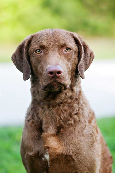 chesapeake bay retriever shed chesapeake bay retriever breed 187 everything about