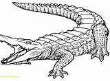 Coloring Nile River Crocodile Cartoon Pages Alligator Baby Getcolorings Print Al sketch template