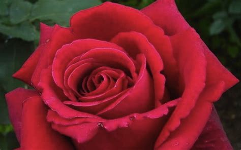 most fragrant roses australia firefighter hybrid tea rose is what i personally have been waiting for a fragrant dark red
