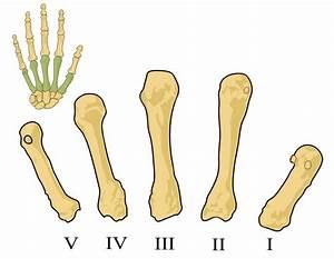 File:Metacarpals numbered-en.svg