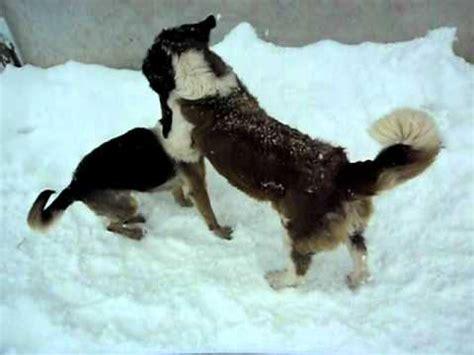 st bernard  german shepherd youtube