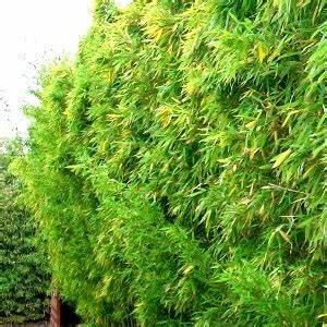 Arbuste Pour Haie Pas Cher : bambou pleioblastus chino vente en ligne de plants de bambou pleioblastus chino pas cher ~ Nature-et-papiers.com Idées de Décoration