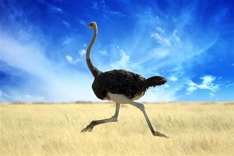 Ostrich - Dream meaning