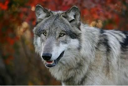 Wolf Wolves Nature Autumn Animals Gray Season