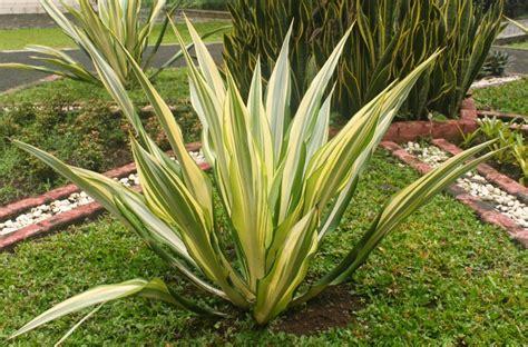jual pohon agave varigata murah pohon agave murah
