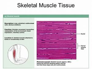 Image Result For Skeletal Muscle Tissue Slide Labeled