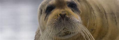 harp seal ocean connections