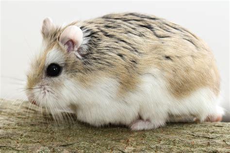roborovski hamster the gallery for gt roborovski hamster