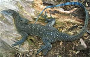 Gallery For > Blue Nile Monitor Lizard